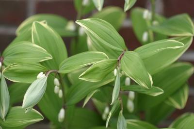 무늬둥글레 Polygonatum odoratum var  pluriflorum for