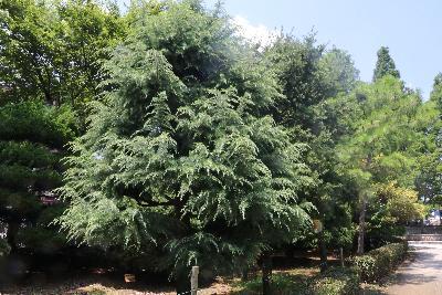 개잎갈나무