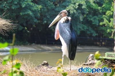 아프리카대머리황새