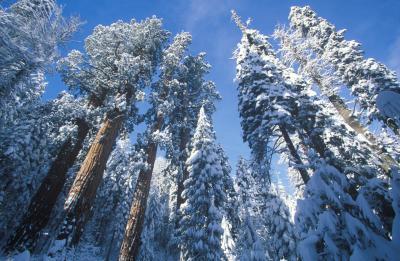 세쿠아 국유림의 겨울풍경 04