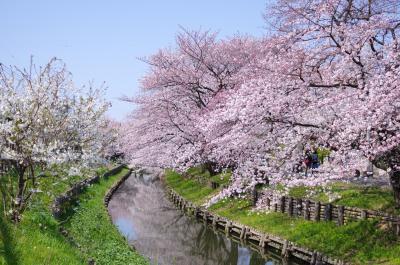 신가시가와의 봄 풍경 03