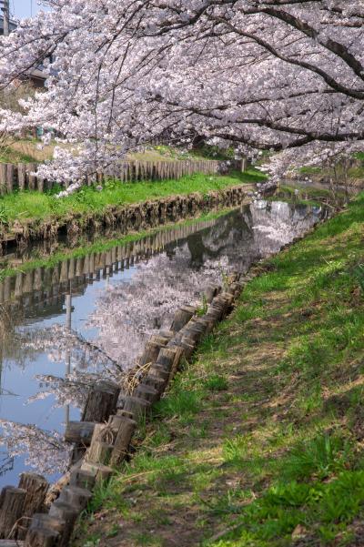 신가시가와의 봄 풍경 13