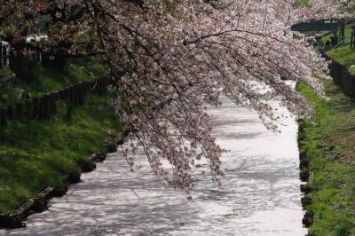 신가시가와의 봄 풍경 07