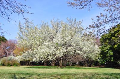 와코주린공원의 봄 풍경