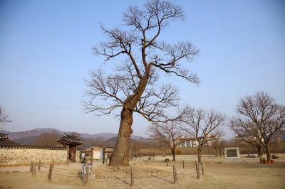 해미읍성, 순교나무