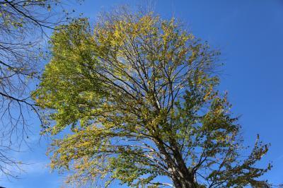 계수나무 02