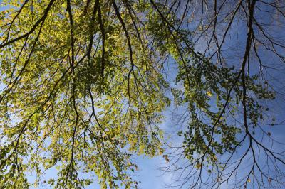 계수나무 04