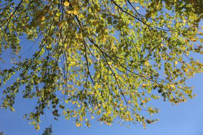 계수나무 06