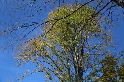 계수나무 03