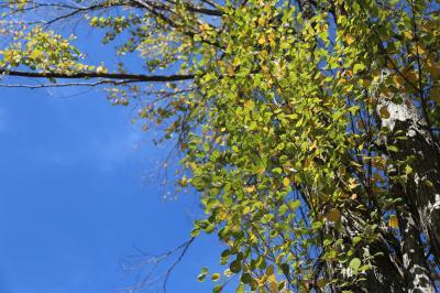 계수나무 07