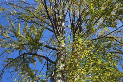 계수나무 08