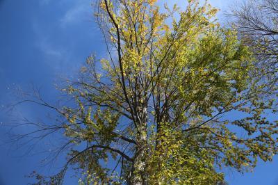 계수나무 09
