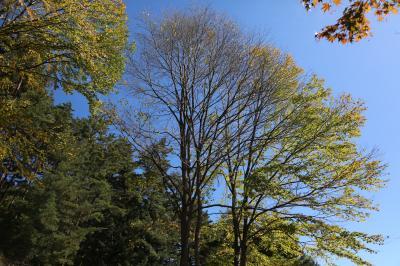 계수나무 10