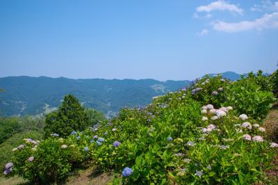 미노야마공원, 수국 05