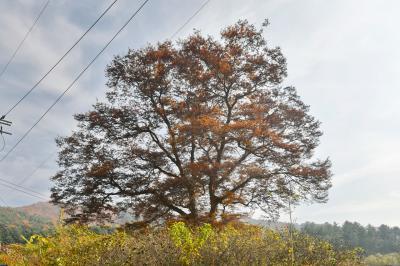 두미리 느티나무