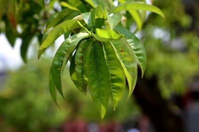 복사나무, 복숭아나무 잎