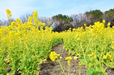 하나하쿠기념공원츠루미녹지, 유채꽃 02