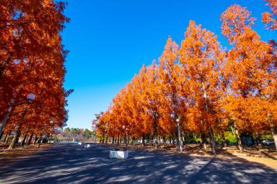 하나하쿠기념공원츠루미녹지, 메타세콰이어길 가을 풍경 05