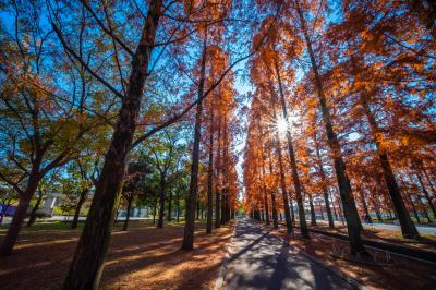 하나하쿠기념공원츠루미녹지, 메타세콰이어길 가을 풍경 06