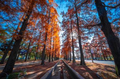 하나하쿠기념공원츠루미녹지, 메타세콰이어길 가을 풍경 02