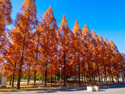 하나하쿠기념공원츠루미녹지, 메타세콰이어길 가을 풍경 08