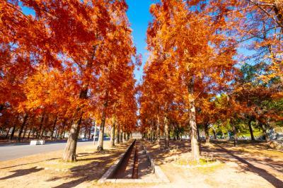 하나하쿠기념공원츠루미녹지, 메타세콰이어길 가을 풍경 09