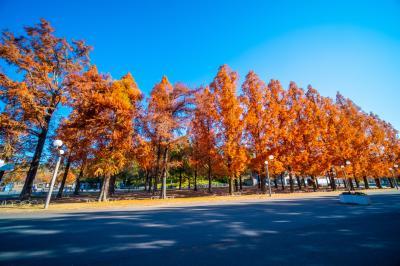 하나하쿠기념공원츠루미녹지, 메타세콰이어길 가을 풍경 10
