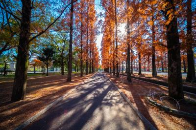 하나하쿠기념공원츠루미녹지, 메타세콰이어길 가을 풍경 11