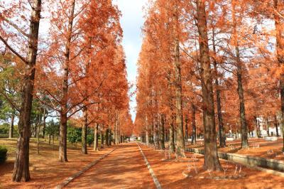 하나하쿠기념공원츠루미녹지, 메타세콰이어길 가을 풍경 12