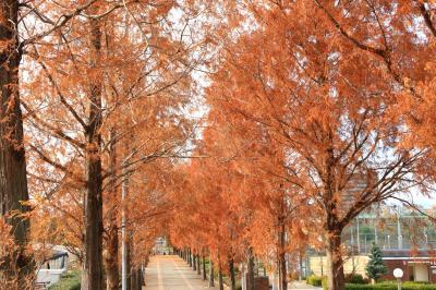 하나하쿠기념공원츠루미녹지, 메타세콰이어길 가을 풍경 14