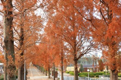 하나하쿠기념공원츠루미녹지, 메타세콰이어길 가을 풍경 15