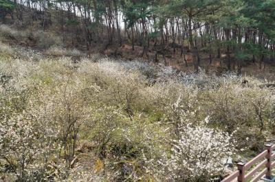괴산 송덕리 미선나무 자생지 02