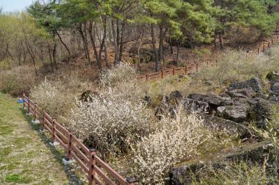 괴산 송덕리 미선나무 자생지 05