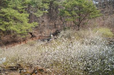 괴산 송덕리 미선나무 자생지 09