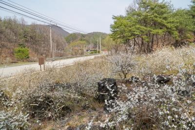 괴산 송덕리 미선나무 자생지 10