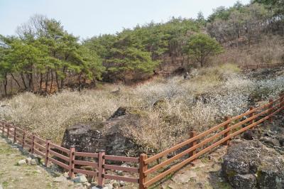 괴산 송덕리 미선나무 자생지 11