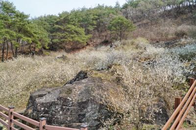 괴산 송덕리 미선나무 자생지 01