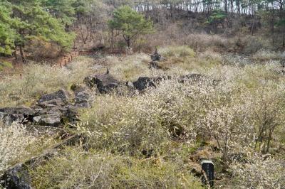 괴산 송덕리 미선나무 자생지 15