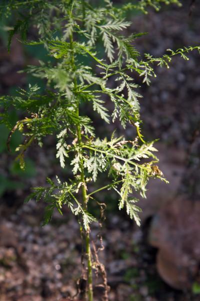 개똥쑥 잎 13