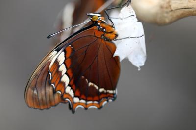 캘리포니아 산 호세, 나비들