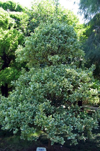 금사철나무 03