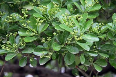 사철나무 03
