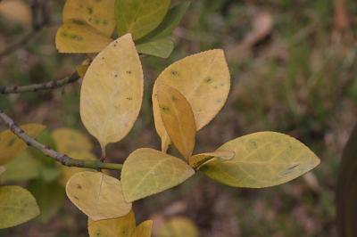 사철나무 낙엽 03