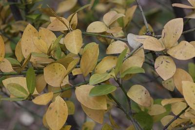 사철나무 낙엽 02