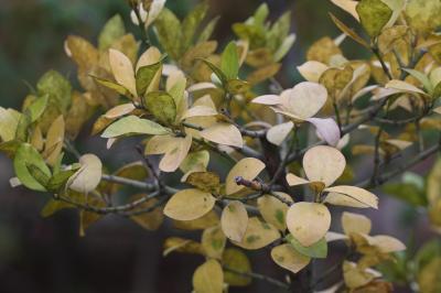 사철나무 낙엽 01