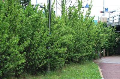 사철나무 02