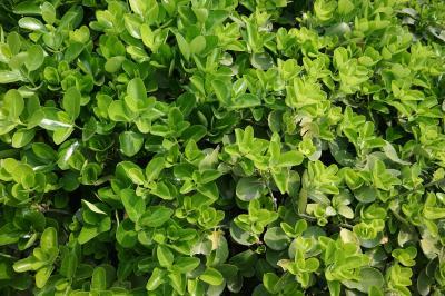 사철나무 잎 01