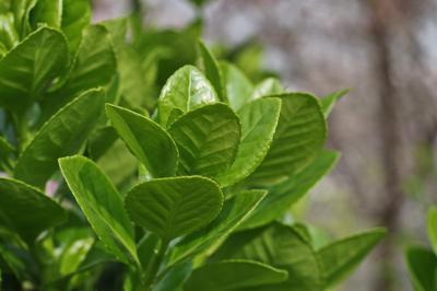 사철나무 잎 03