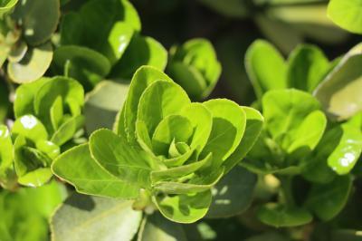 사철나무 잎 02