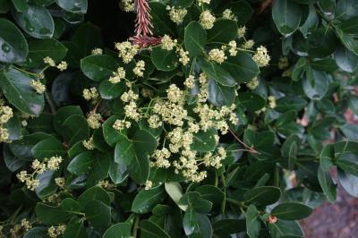 사철나무 꽃 01